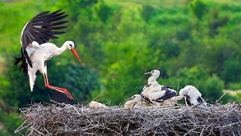 El hombre y la Tierra (Fauna ibérica) - Las cigüeñas, 2 - ver ahora