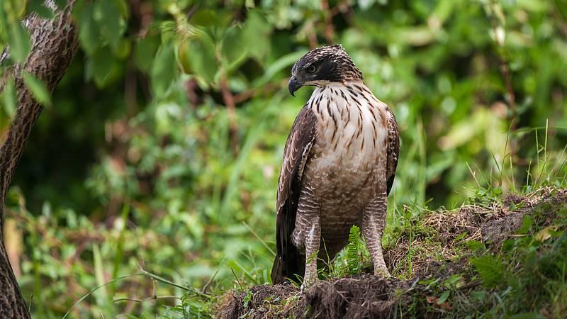 El hombre y la Tierra (Fauna ibérica) - El águila perdicera I - ver ahora
