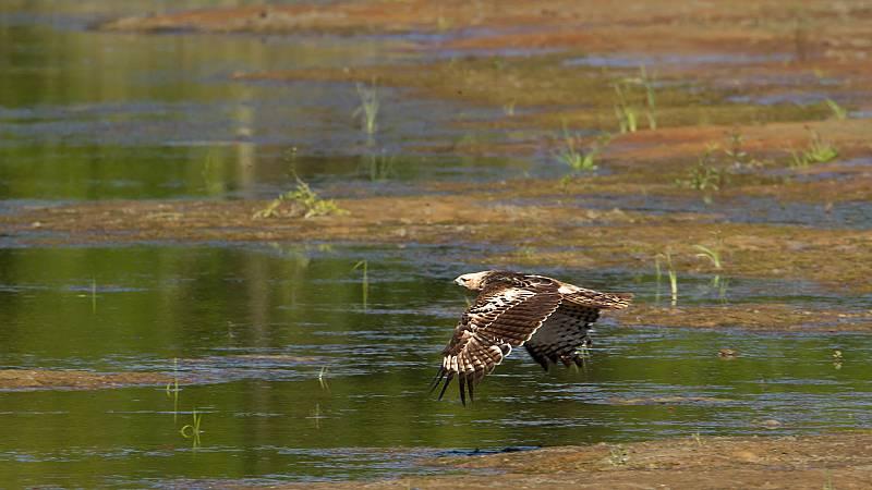 El hombre y la Tierra (Fauna ibérica) - El águila perdicera II - ver ahora