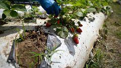 Aquí la Tierra - Así es el cultivo de fresas ecológicas en Almería