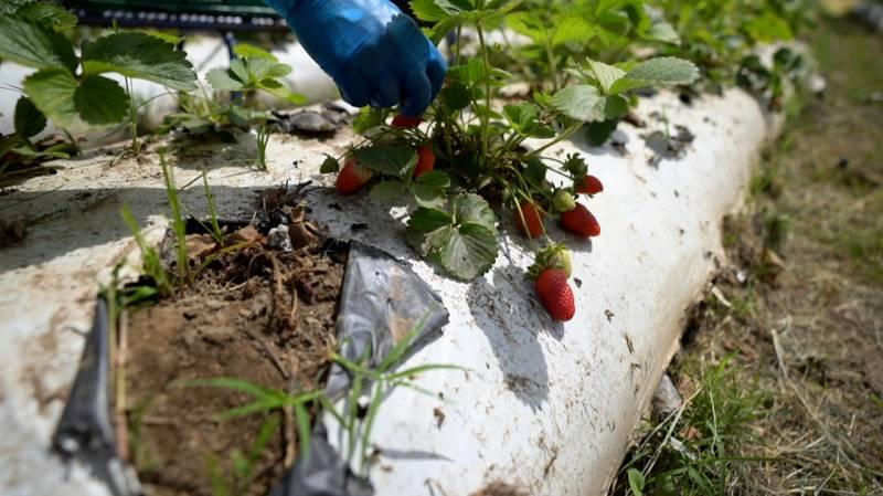 Así es el cultivo de fresas ecológicas en Almería