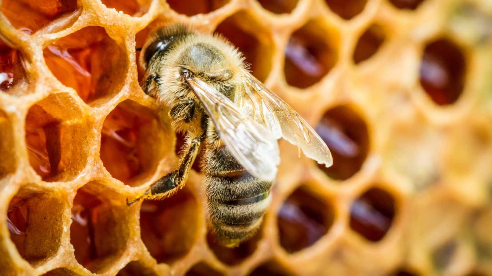 Aquí la Tierra - Las abejas: conocemos a estas grandes trabajadoras