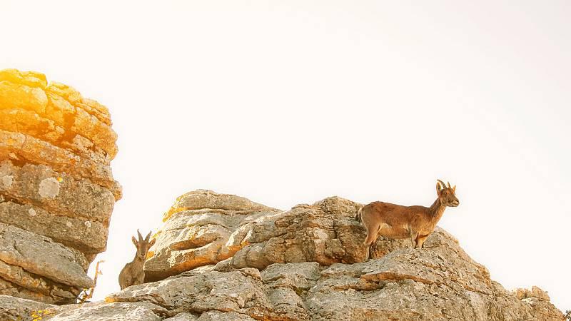 El hombre y la Tierra (Fauna ibérica) - El macho montés 1 - ver ahora
