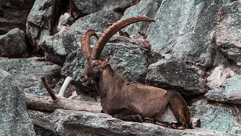 El hombre y la Tierra (Fauna ibérica) - El macho montés 2 - ver ahora