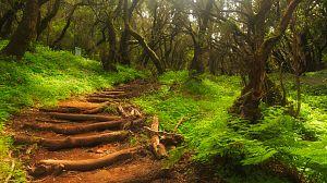 Planeta selva: Selvas en el mar. Laurisilva de Canarias