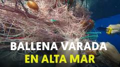 Guardacostas italianos rescatan y liberan a una ballena atrapada en redes de pesca