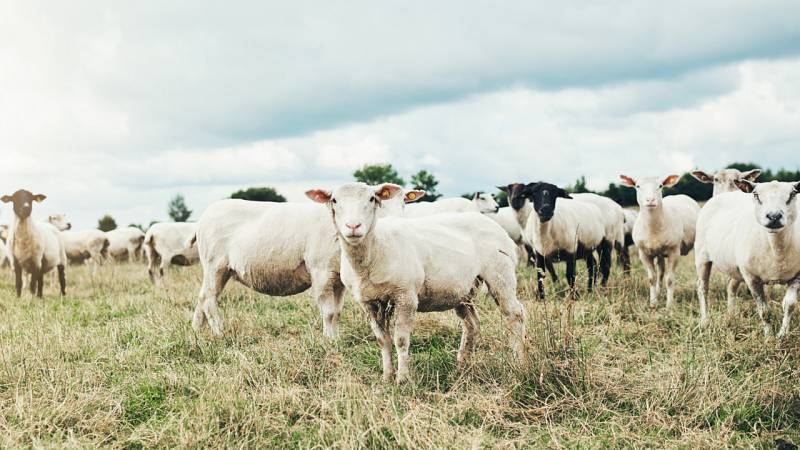 Los rebaños de ovejas, ¿pueden evitar incendios?