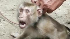 PETA denuncia la esclavitud de monos en la recolección de cocos en Tailandia