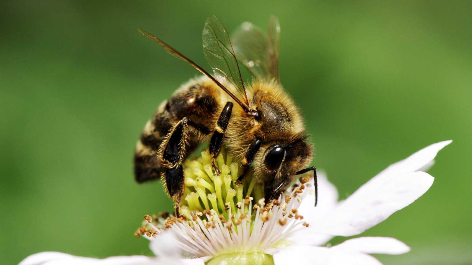 Aquí la Tierra - ¿Sabías que las abejas no perciben el color de las flores como los humanos?