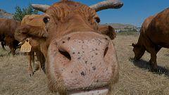 Aquí la Tierra - ¡Unas vacas muy bien cuidadas!