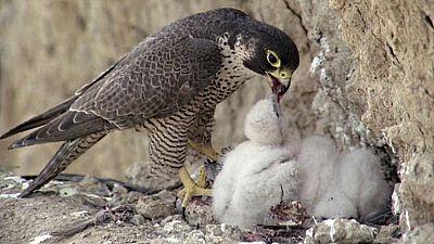 El hombre y la Tierra (Fauna ibérica) - El proyectil viviente - ver ahora