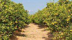 Aquí la Tierra - ¡Os presentamos al calamondín y al limón Ichang!