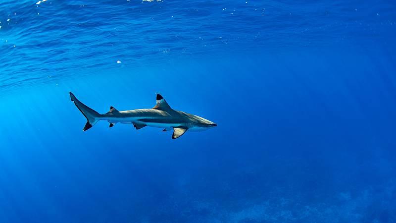 WWF denuncia que más de la mitad de las especies de tiburones y rayas del Mediterráneo están amenazadas