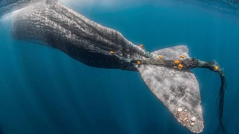 Buscan en el Estrecho de Gibraltar a Toño, un cachalote atrapado en una red