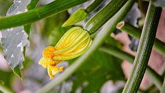 Aquí la Tierra - ¿Sabes que las flores del calabacín y del pepino son comestibles?