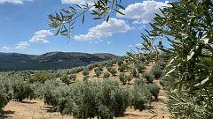 España Directo - Un mar de olivos en Jaén