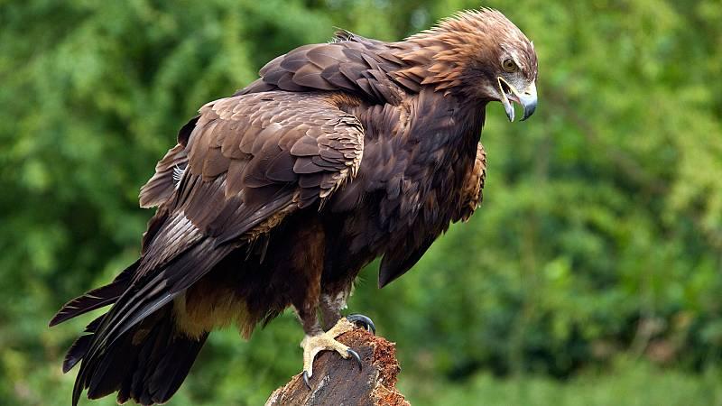El hombre y la Tierra (Fauna ibérica) - El águila real II  - ver ahora