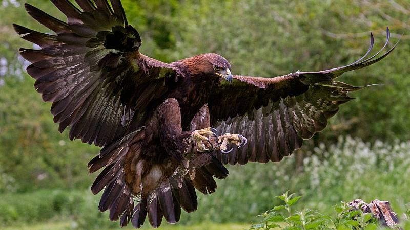 El hombre y la Tierra (Fauna ibérica) - El águila real I  - ver ahora