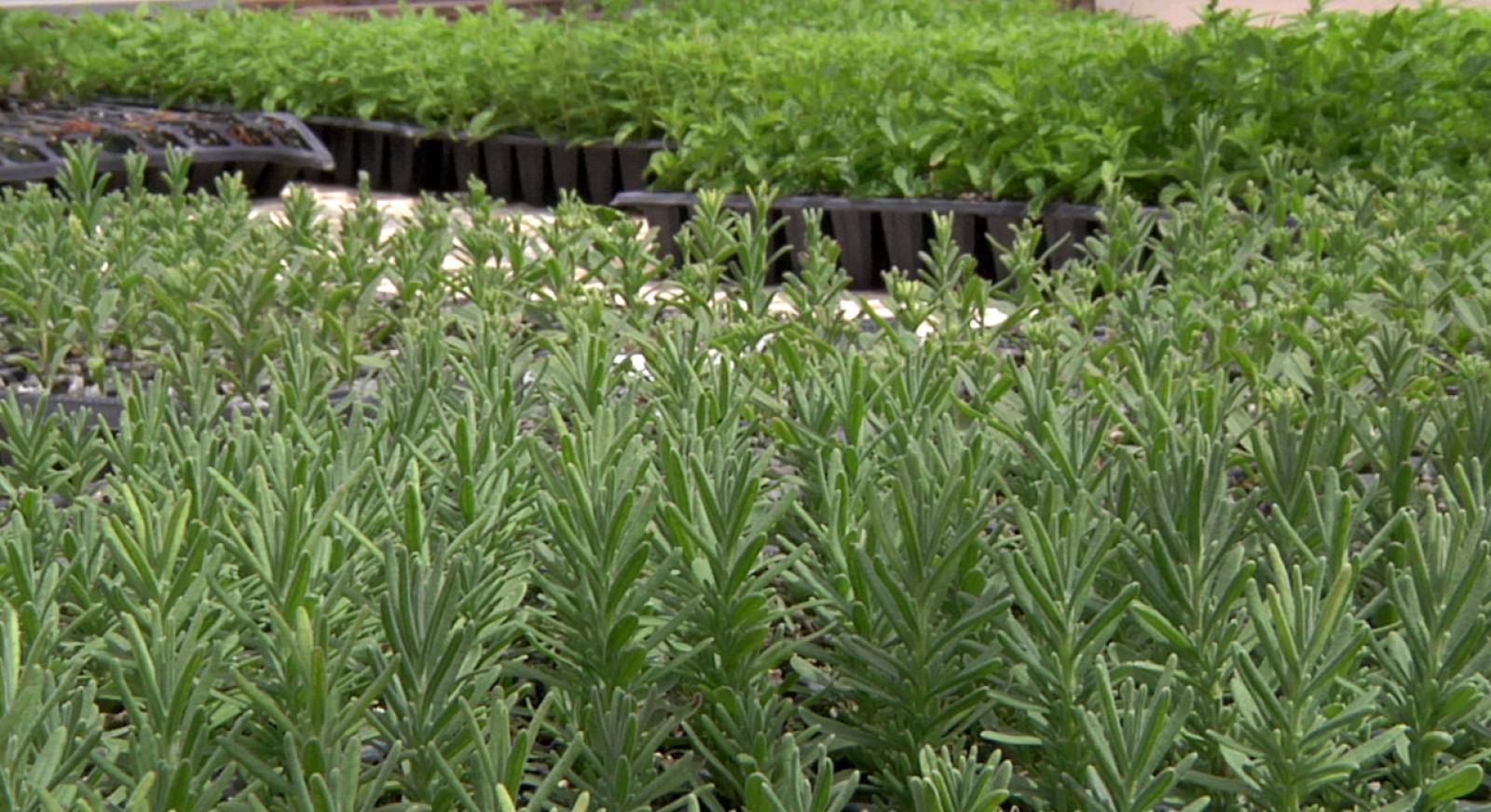 Trucos para cultivar y mantener plantas aromáticas