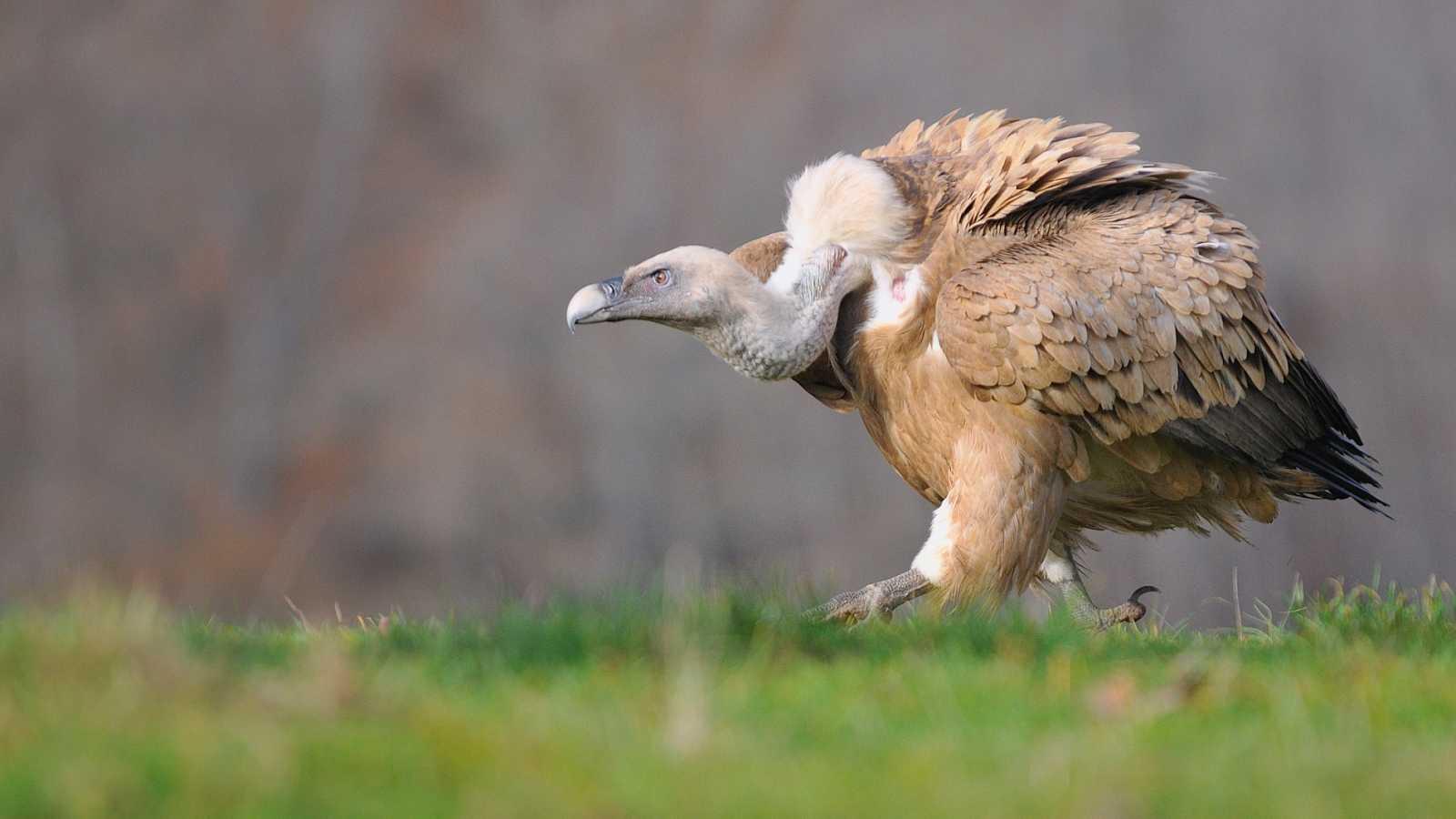 El buitre, una especie esencial en el equilibrio del planeta