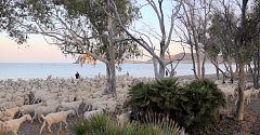 Aquí La Tierra - Las cabras ¿tiran al monte o a la playa?