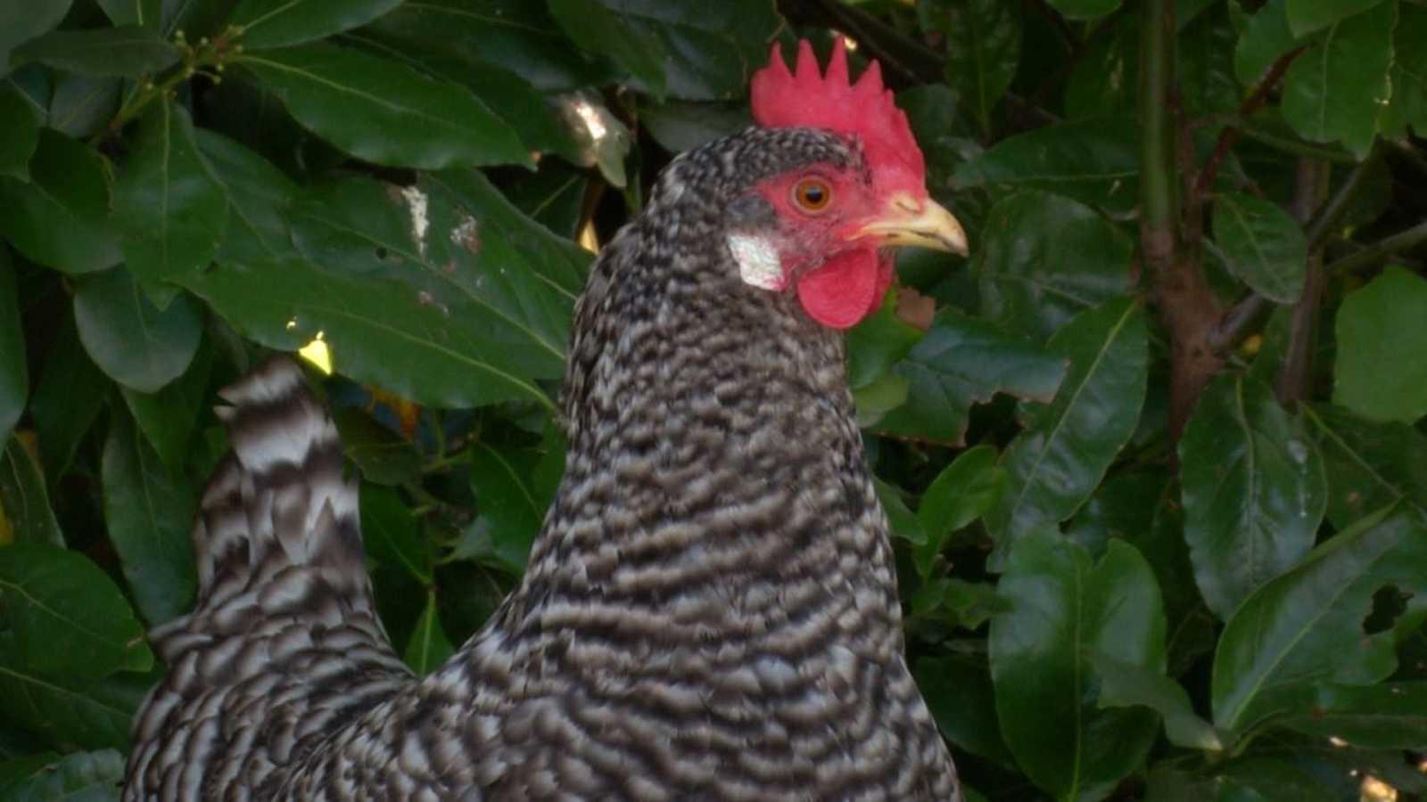 Pitas, pitas, pitas: a por la gallina pedresa