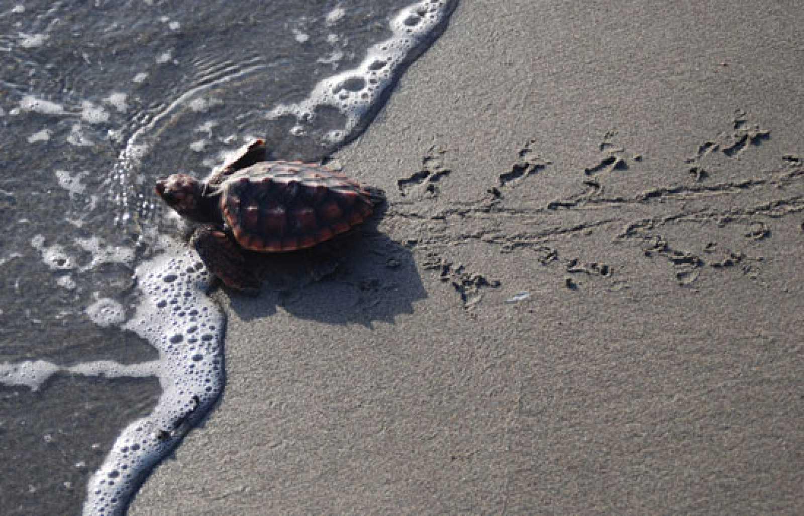 Investigadores del CSIC sueltan 240 ejemplares de tortuga boba en Almería