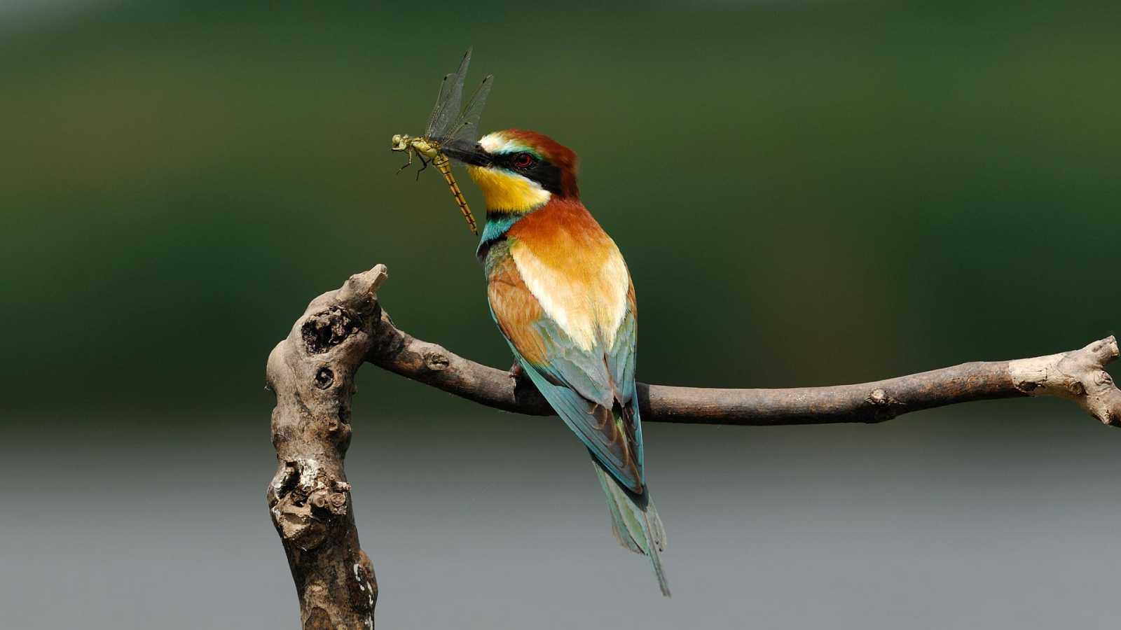El hombre y la Tierra (Fauna ibérica) - El abejaruco, 1 - ver ahora