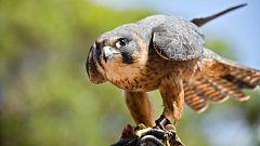 España Directo - Volamos hasta el parque de aves rapaces más grande del mundo