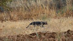 La pantera negra a la que buscan en Granada podría ser un gato negro