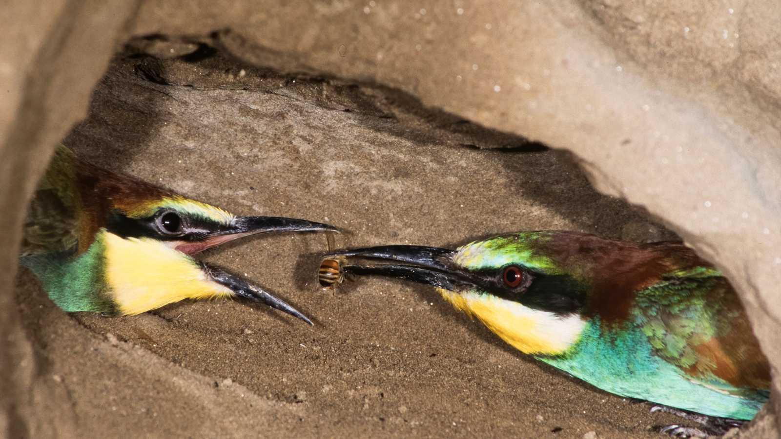 El hombre y la Tierra (Fauna ibérica) - El abejaruco, 2 - ver ahora