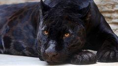 España Directo - Tras la huella de un gran felino
