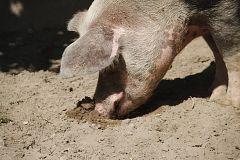 Aquí la Tierra - ¿Conoces la raza porcina celta? Te presentamos esta curiosa especie de cerdo