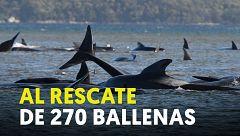 Así es el operativo para el rescate de 270 ballenas varadas en Tasmania, al sur de Australia