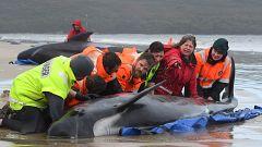 Rescate contra reloj de cientos de ballenas varadas en Tasmania