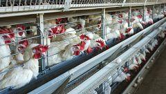 Casi 100 positivos en una granja de Cambados (Pontevedra)