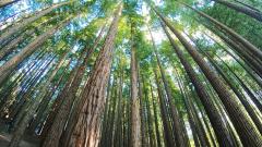 El bosque de secuoyas más grande de Europa