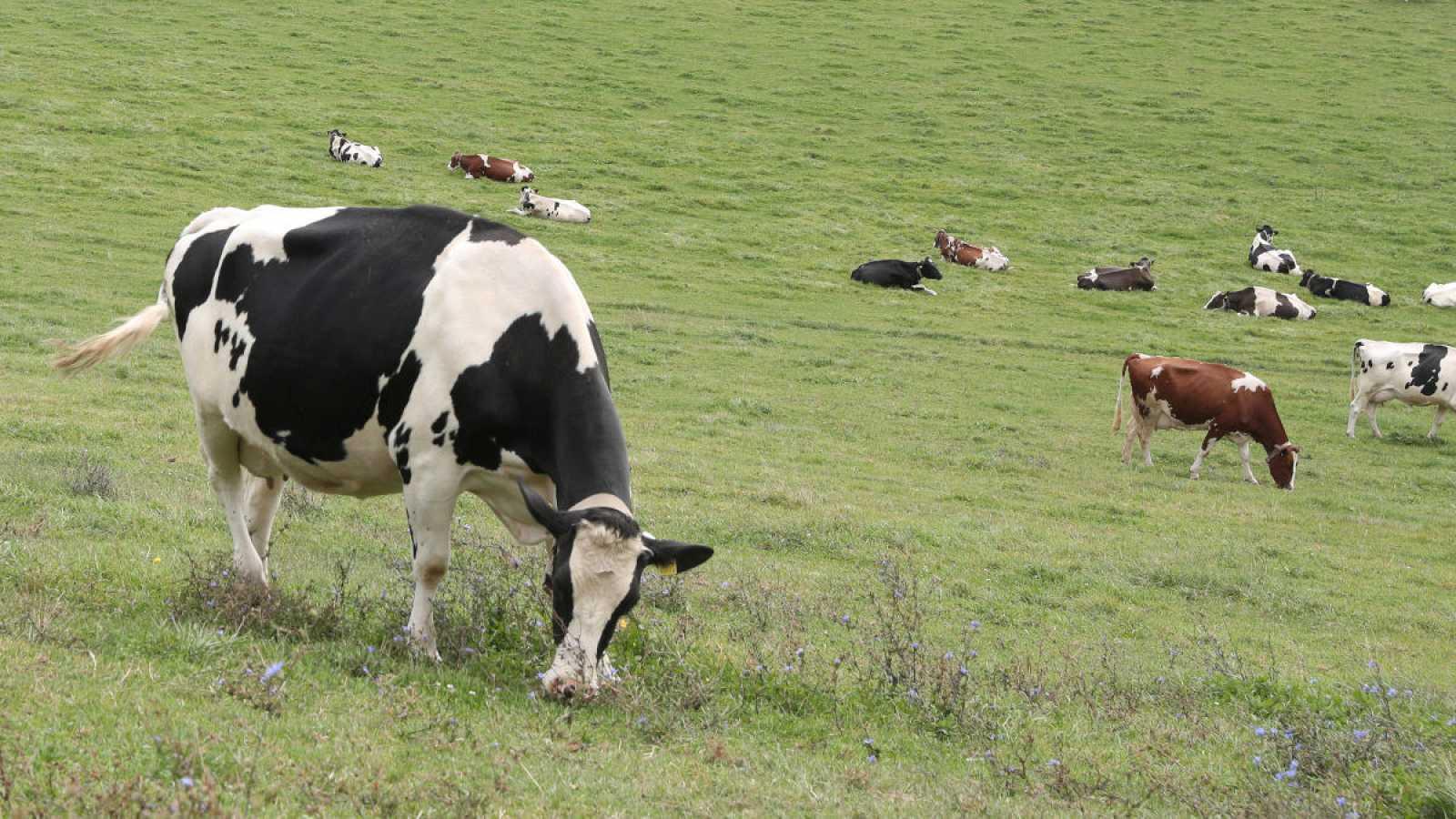 Investigan si la leche inmunizada de vaca podría proteger contra el COVID-19