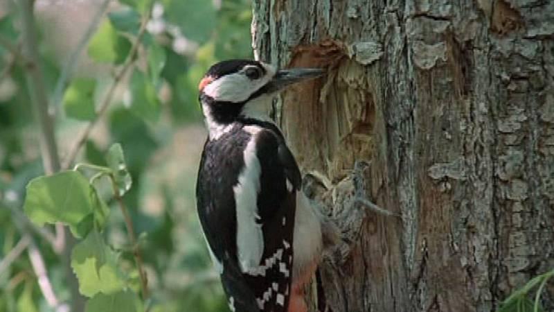 El hombre y la Tierra (Fauna ibérica) - Los pájaros carpinteros 1 - ver ahora