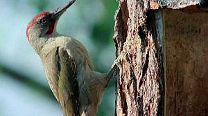 Los pájaros carpinteros 2