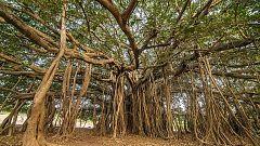 Órbita Laika - Curiosidades científicas - El árbol de Thimamma