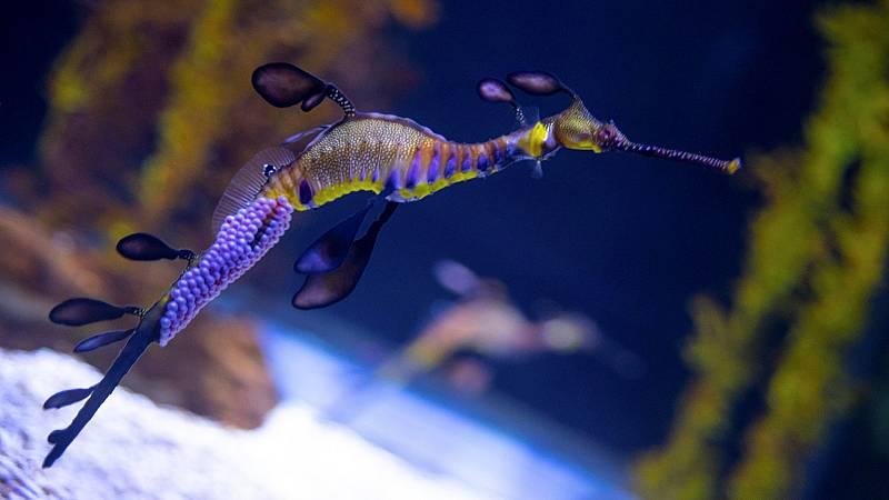Dragones de mar en el acuario Poema de Mar de Gran Canaria