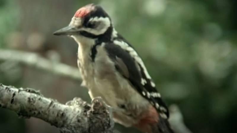 El hombre y la Tierra (Fauna ibérica) - Los pájaros carpinteros 3 - ver ahora