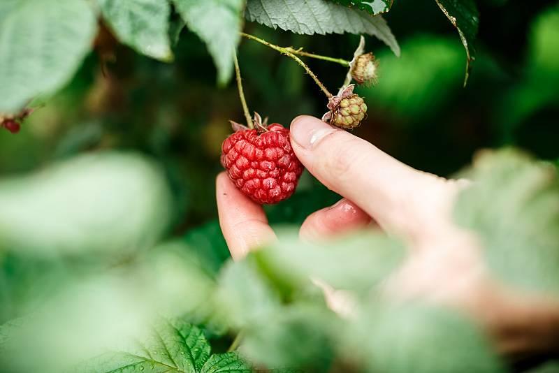 Aquí la Tierra - Frambuesas rosas, amarillas, arándanos, grosellas... ¿cuál es tu fruto del bosque favorito?