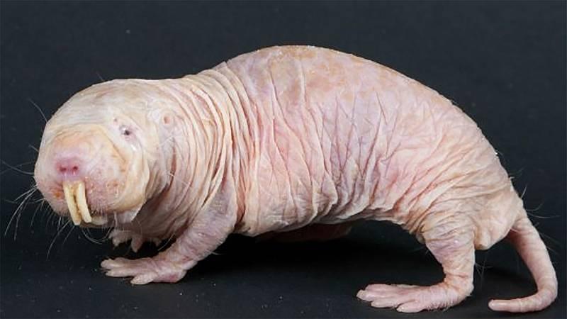 Órbita Laika - Curiosidades científicas - La rata topo