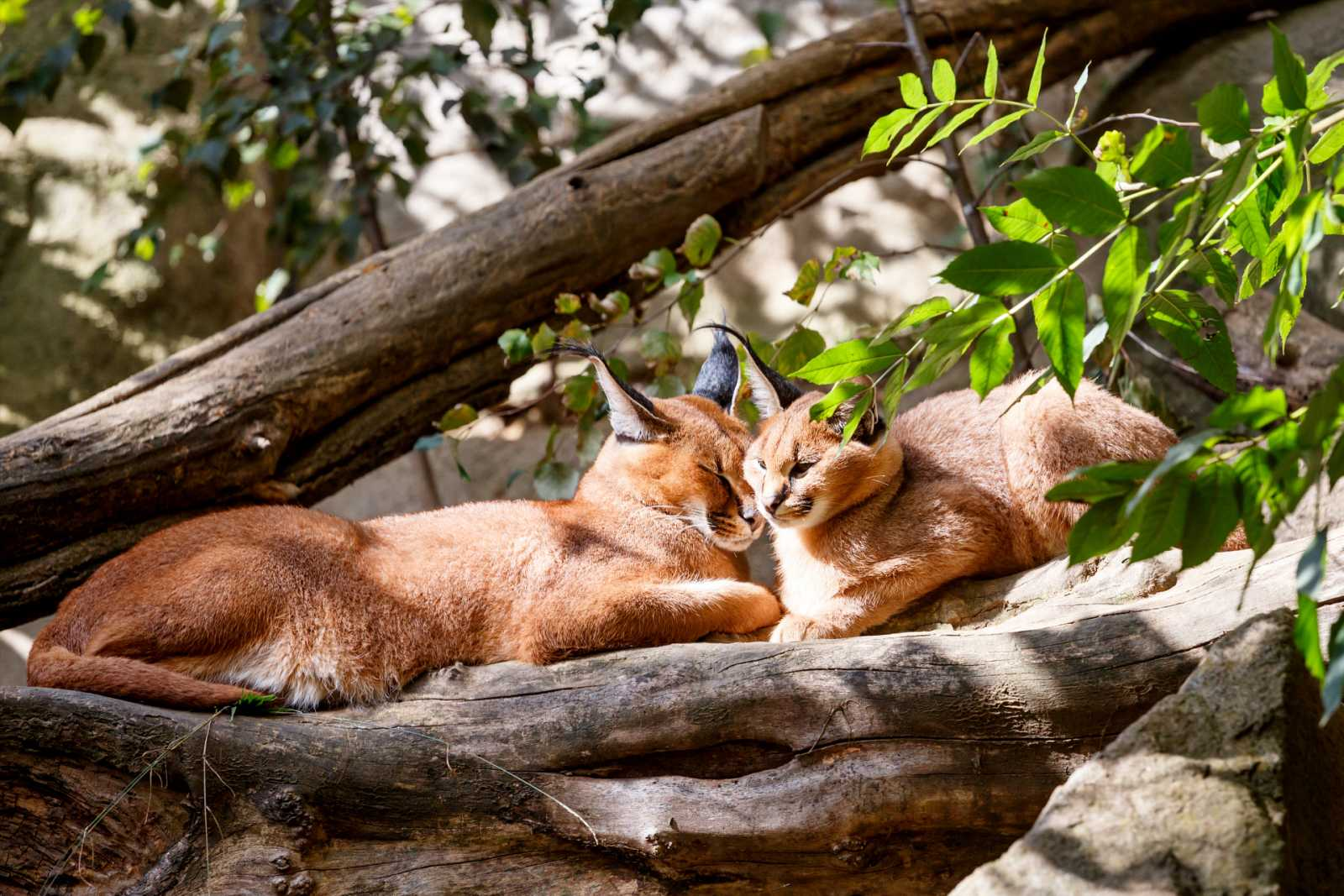 Aquí la Tierra - ¡Unos felinos de película!