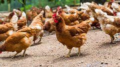 España Directo - El huevo y la gallina