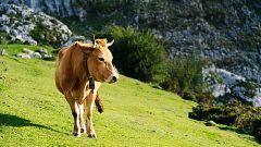 España Directo - Aila, la vaca que sobrevivió atrapada en un acantilado