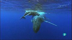 Grans documentals - La guerra de les balenes: les orques ataquen