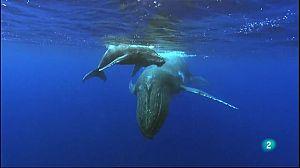 La guerra de les balenes: les orques ata
